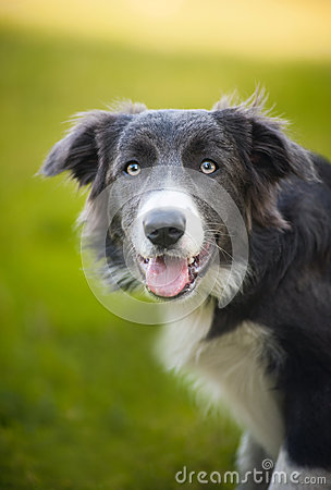 Happy dog border collie