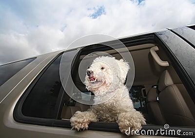 Happy Dog In Car