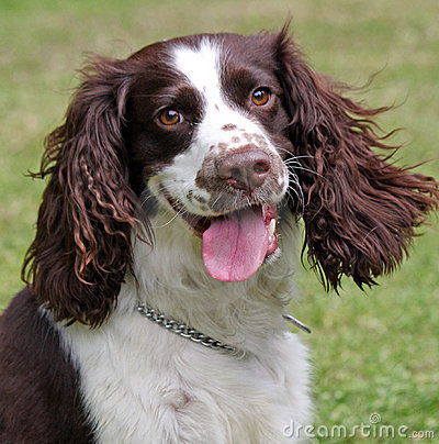 Happy Dog - English Springer Spaniel
