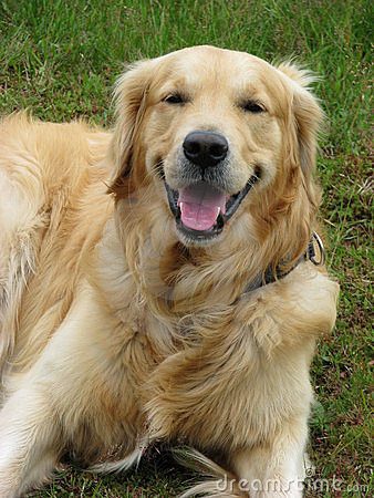 Happy Dog Golden Retriever