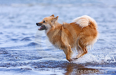 Happy dog running