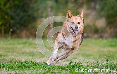 Happy dog running on full speed