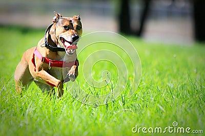 Happy dog running through green grass.