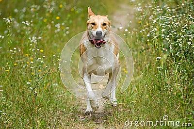 Happy dog running