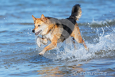 Happy dog running through the water on the beach