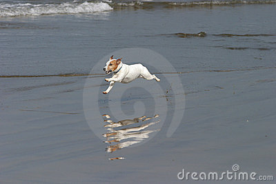 A Happy Dog runs on the beach