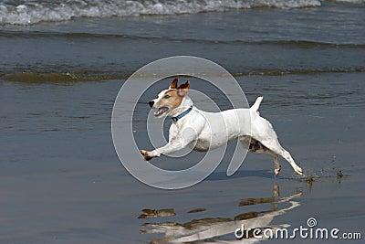 A Happy Dog runs on the beach