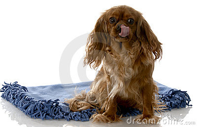 Happy dog sitting on blanket