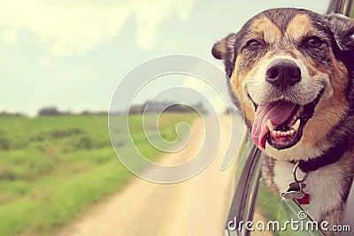 Happy Dog Sticking Head out Car Window