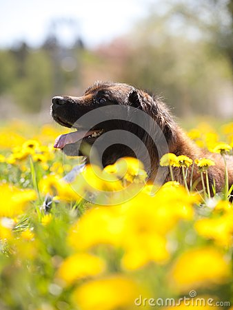 Happy dog with yellow dandelions