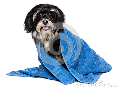 Happy dry havanese puppy dog after bath is dressed in a blue tow