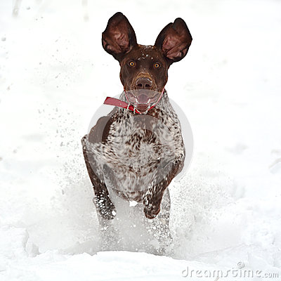 Free Happy Funny Dog Running In The Snow Royalty Free Stock Photography - 37667657