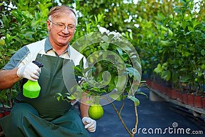 Happy gardener cares for grapefruit in greenery