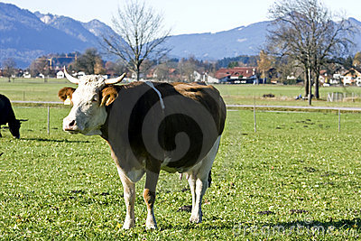 Happy german cow on green grass