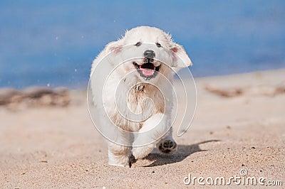 Happy golden retriever puppy running at the beach