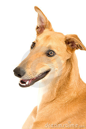 Free Happy Greyhound Royalty Free Stock Photography - 4412117