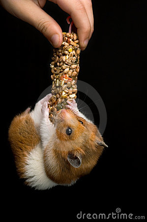 Happy hamster hanging on a treat bar
