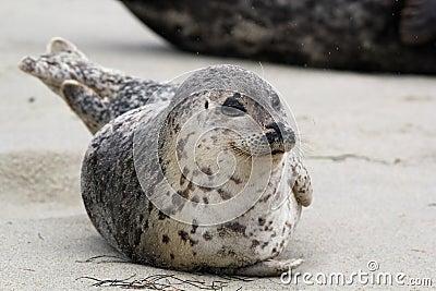 Happy Harbor Seal