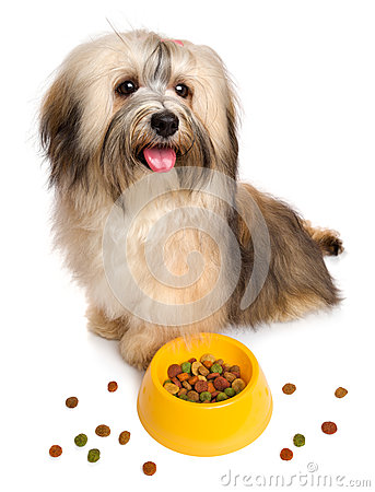 Free Happy Havanese Puppy Is Sitting Next To Her Favorite Dry Food Royalty Free Stock Photography - 55460837
