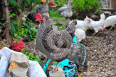 Happy hens.