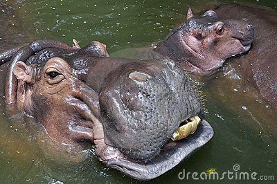 A happy hippo family