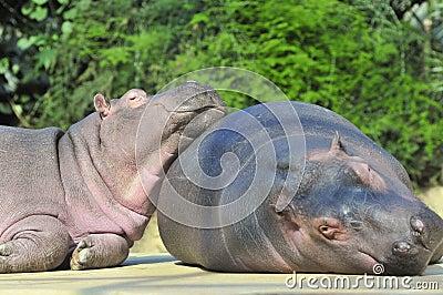 Happy hippopotamus
