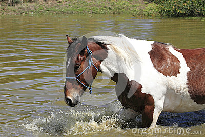 Happy Horse Swimming