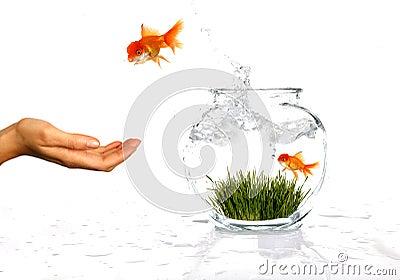 Happy Jumping Goldfish