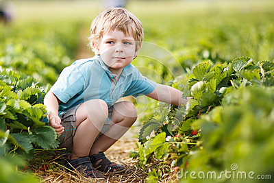 Happy little toddler boy on pick a berry farm picking strawberries