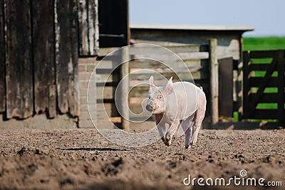 Happy pig running