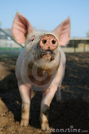 Happy pig snout