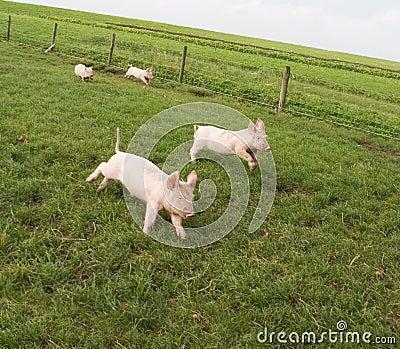 Happy Piglets