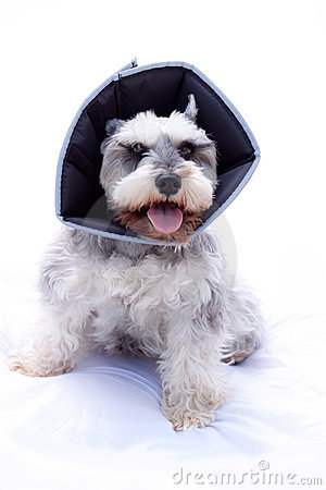 Happy schnauzer dog wearing elizabethan collar