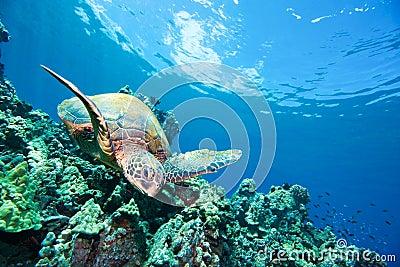 Happy sea turtle reef