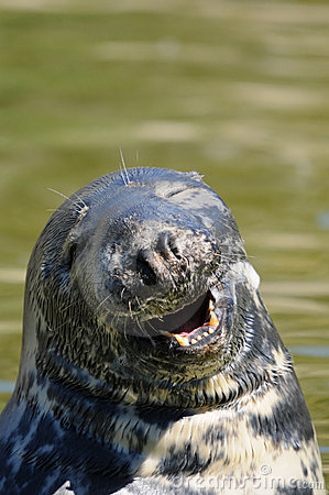 Happy seal smiling