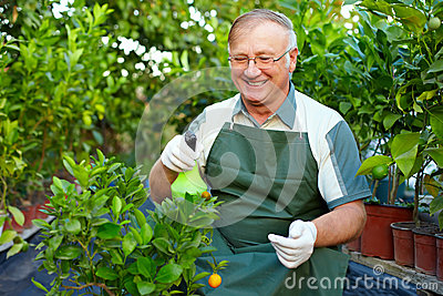 Happy senior man cares for plants in greenhouse