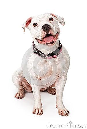 Happy White Pit Bull Dog