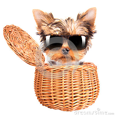 Free Happy Yorkie Toy With Sun Glasses In A Basket Stock Image - 35778371