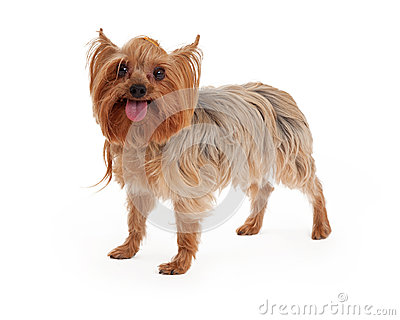 Happy Yorkshire Terrier Dog Standing With Open Mouth