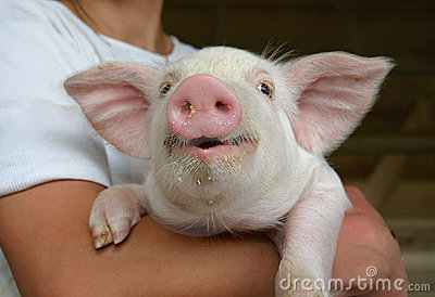 Happy young pig
