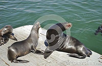 Harbor Sea Lion