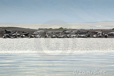 A Harbor Seal colony in Iceland