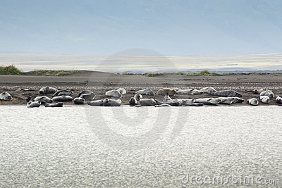 Harbor Seal colony in Iceland