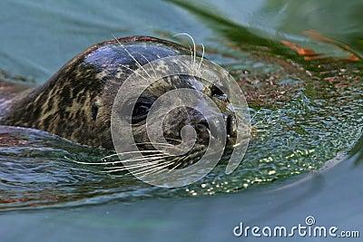 Harbor seal