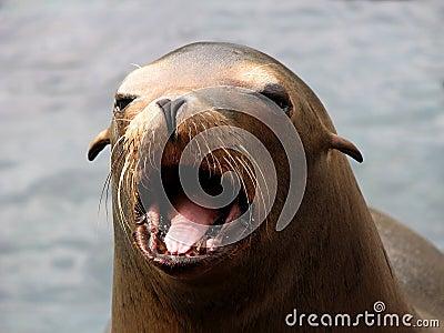 Harbor Seal (Phoca vitulina) Face