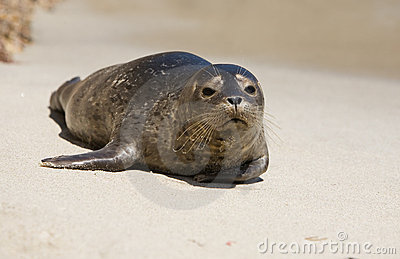Harbor Seal Pup 2