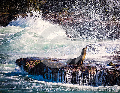 Sea Lion, Surf, La Jolla, California