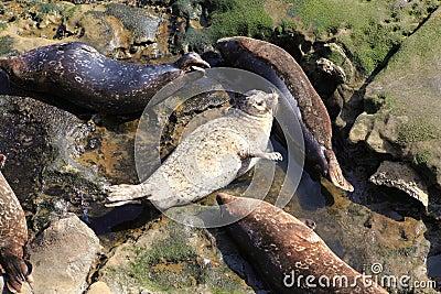 Harbor Seal White