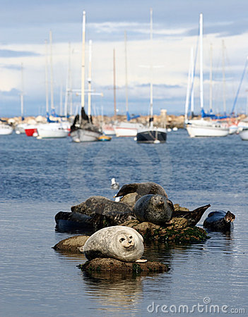 Free Harbor Seals Royalty Free Stock Images - 1457139