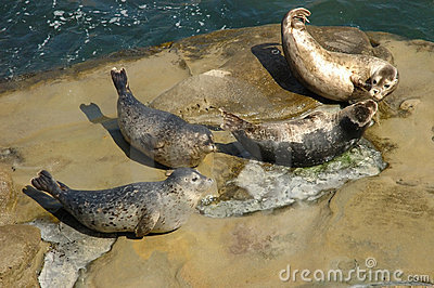 Harbor seals hailed out on the rock